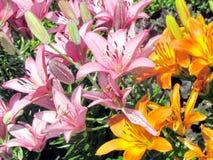 Van de de Tuin de Unieke lelie van Toronto bloemen 2014 Royalty-vrije Stock Foto