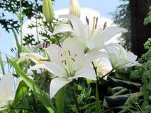 Van de de Tuin de witte lelie van Toronto bloemen 2014 Royalty-vrije Stock Foto's