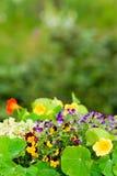 Van de de tuinbloem van de zomer het kleurrijke viooltje Stock Afbeeldingen