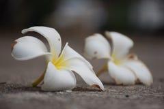 Van de de tuinuitdrukking van Desertrosebloemen woestijn-nam de oude tijd toe Royalty-vrije Stock Foto