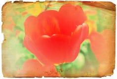 Van de de tulpenbloem van Grunge de rode retro foto of de achtergrond Stock Afbeeldingen