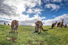 Van de de vadermoeder en zoon van de kangoeroesfamilie portret Royalty-vrije Stock Afbeeldingen