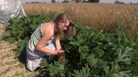 Van de de vrouwenoogst van het land de rijpe gele courgette in inlandse tuin Royalty-vrije Stock Foto's