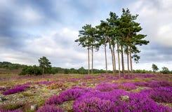 Van de de zomerheide en Pijnboom Bomen Stock Afbeelding
