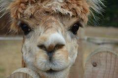 Van de dierendieren van het lamalamé dierlijk dierlijk dicht het stem vóórhaar Royalty-vrije Stock Afbeeldingen