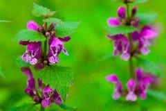 Van de dood-netel (orvala Lamium) de bloem Royalty-vrije Stock Afbeelding