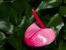 Van de flamingobloem of Anthurium rood en purper bloesemclose-up bij serre, selectieve nadruk, ondiepe DOF royalty-vrije stock afbeeldingen