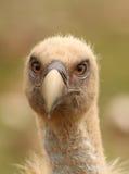 Van de fulvus griffon gier van Gyps het hoofdportret Stock Foto
