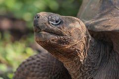 Van de Galapagos (Reus) de Schildpad Stock Foto