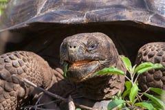 Van de Galapagos (Reus) de Schildpad het Voeden Royalty-vrije Stock Foto