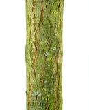 Van de geitwilg (Salix-caprea) de schors Royalty-vrije Stock Afbeelding