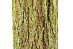 Van de geitwilg (Salix-caprea) de schors Royalty-vrije Stock Fotografie