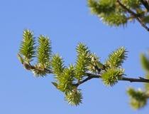 Van de geitwilg (Salix-caprea) het takje met vrouwelijke bloeiwijzen Royalty-vrije Stock Fotografie