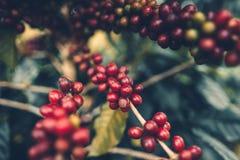 Van de de Goede kwaliteits de rode koffie van de kersenkoffie boom van de de bonen exuberant koffie stock afbeelding