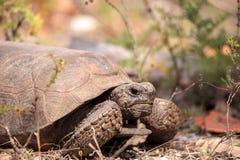 Van de Gopherschildpad van Florida polyphemus van Gopherus stock fotografie