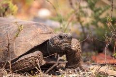Van de Gopherschildpad van Florida polyphemus van Gopherus stock foto's