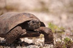 Van de Gopherschildpad van Florida polyphemus van Gopherus royalty-vrije stock foto