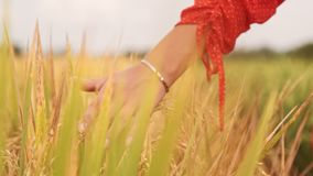 Van de de handaanraking van de vrouw jonge de tarweoren bij zonsondergang of zonsopgang Landelijk en Natuurlijk Landschap land, a stock videobeelden