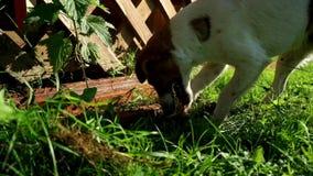 Van de hefboomrussell van het hondras de terriër gravend gat in tuin De jachthond graaft een gat stock videobeelden