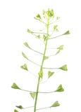 Van de herders` s beurs de installatie of van Capsella slijmbeurs-pastoris met bloemen en vruchten op witte achtergrond worden ge Stock Foto's