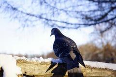 van de het close-updag van de duifvogel van de het zonlichtsneeuw van de de winteraard de hemelboom Royalty-vrije Stock Fotografie