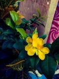 Van de het fortuininstallatie van de geldboom de gele bloemen Royalty-vrije Stock Afbeeldingen