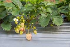 Van de het gebruiks de plastic landbouw van het Stawberrylandbouwbedrijf Vierkante vorm ter plaatse Stock Foto