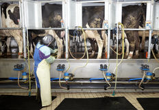 Van de het landbouwbedrijflandbouw van de koe de melk automatisch melkend systeem royalty-vrije stock afbeelding