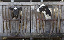 Van de het landbouwbedrijflandbouw van de koe de rundermelk Stock Afbeeldingen