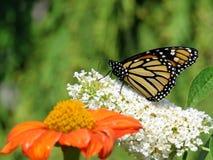 Van de het Meermonarch van Toronto de vlinder en bloemen 2017 Royalty-vrije Stock Afbeeldingen