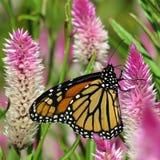 Van de het Meermonarch van Toronto de vlinder en mooie bloem 2017 Stock Foto's