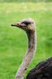 Van de het Profiel Lage Hoek van de struisvogel Hoofdhals het Portretverticaal Royalty-vrije Stock Afbeelding
