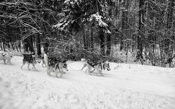 van de het teamweg van de hondenhond van de de wintersneeuw bos van de dagbomen het koude stock afbeelding