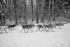 van de het teamwinter van de hondenhond van de de sneeuw het koude dag bos van het de bomenpark stock foto