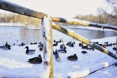 van de het zonlicht koude dag van het meerwater van de vogelseenden van de de omheiningswinter de sneeuwdag Royalty-vrije Stock Afbeelding