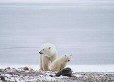 Van de ijsbeermamma en welp rust Stock Afbeelding