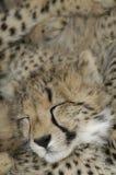 Van de jachtluipaard (jubatus Acinonux) de welpen, Zuid-Afrika Royalty-vrije Stock Afbeeldingen