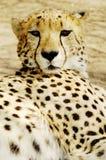 Van de jachtluipaard (jubatus Acinonux) de welpen, Zuid-Afrika Royalty-vrije Stock Afbeelding
