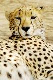 Van de jachtluipaard (jubatus Acinonux) de welpen, Zuid-Afrika Royalty-vrije Stock Foto
