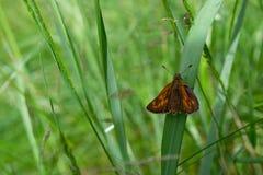 Van de Kapiteinshesperia van de vlinderkomma de komma & x28; Linnaeus& x29; Stock Afbeeldingen