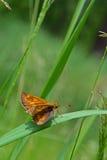 Van de Kapiteinshesperia van de vlinderkomma de komma & x28; Linnaeus& x29; Royalty-vrije Stock Fotografie