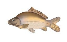 Van de karper de vissen (Cyprinus carpio) vectorillustratie Stock Foto's