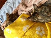 Van de kattenbroer en zuster slaap Royalty-vrije Stock Afbeeldingen