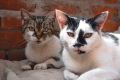 Van de kattenvader en moeder kat, straatkatten royalty-vrije stock afbeeldingen