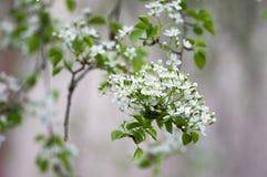 Van de de kersenboom van Mahaleb de bloeiend, vergankelijke boom met groep kleine witte bloemen en groene bladeren op takken stock afbeelding