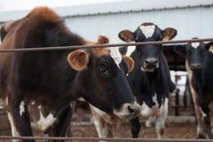 Van de koeien/dairy van Jersey het veelandbouwbedrijf Stock Afbeeldingen