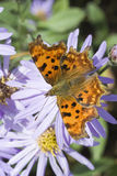 Van de komma (c-Album Polygonia) de Vlinder Royalty-vrije Stock Afbeeldingen