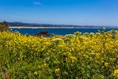 Van de de kustlente van Oregon gele wildflowerbloei royalty-vrije stock afbeeldingen