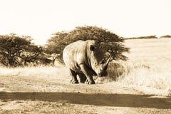 Van de Landwegweiden van de het wildrinoceros Dierlijke Sepia Tone Vintage Stock Foto's