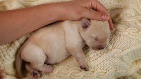 Van de liefkozings pasgeboren Labrador van de vrouwenhand het puppyhond stock videobeelden